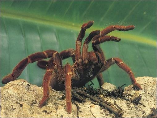 Les mygales d'Amérique du Nord sont des araignées mortelles.