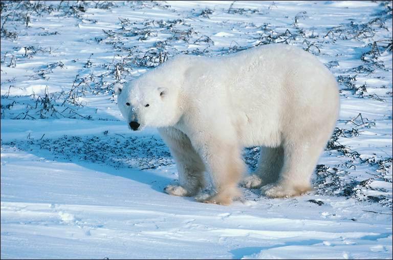 Sous sa fourrure, de quelle couleur est la peau de l'ours blanc ?
