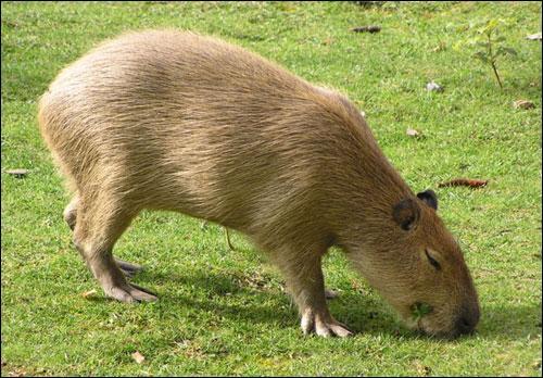 Le capybara (ou cabiai) est le plus gros rongeur du monde. Il est grand comme :