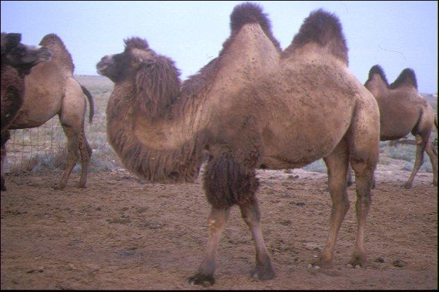 De quoi sont faites les bosses du chameau ?