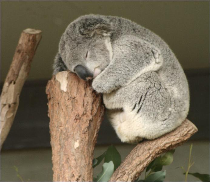 Le koala est un animal qui dort beaucoup. Combien d'heures par jour ?