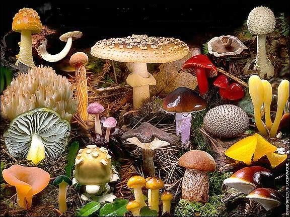 Les champignons ont une place à part dans la nature. Que ne contiennent-ils pas ?