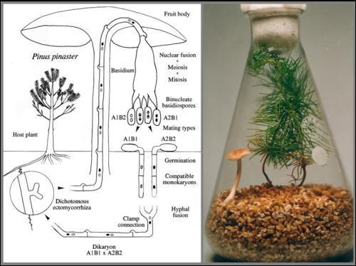 Le champignon vit en osmose avec les arbres. Comment appelle-t-on cet état de fait ?