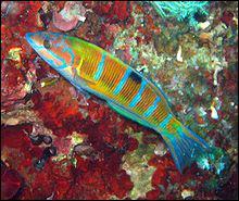 Comment se nomme ce magnifique poisson de Méditerranée ?