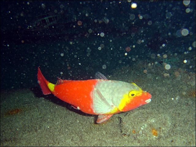 Quel est le nom de ce poisson très coloré ?
