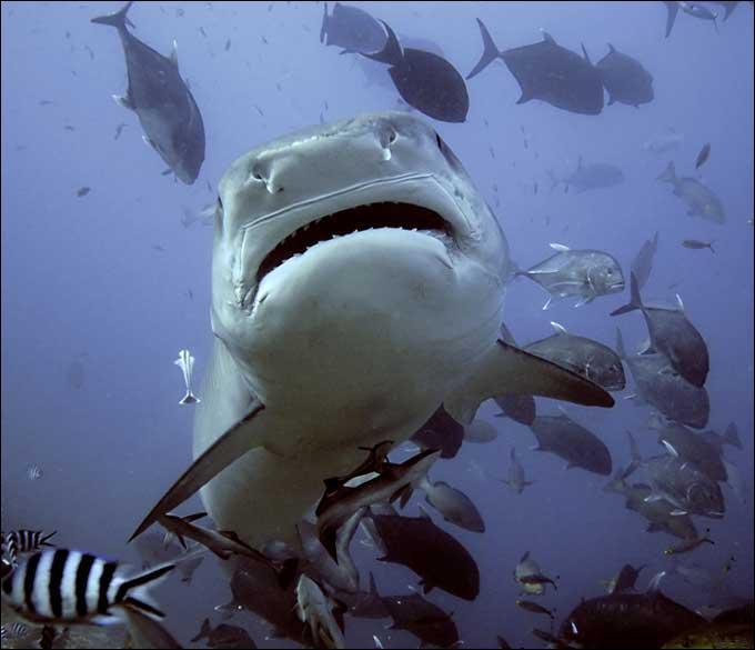 Combien d'espèces de requins sont dites dangereuses pour l'homme ?