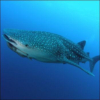 Quelle taille peut atteindre le requin baleine ( Rhincodon typus ) ?