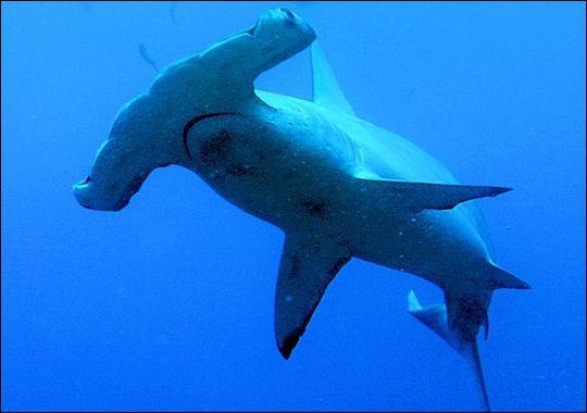Le grand requin marteau (Sphyrna mokarran ) est dangereux pour l'homme.