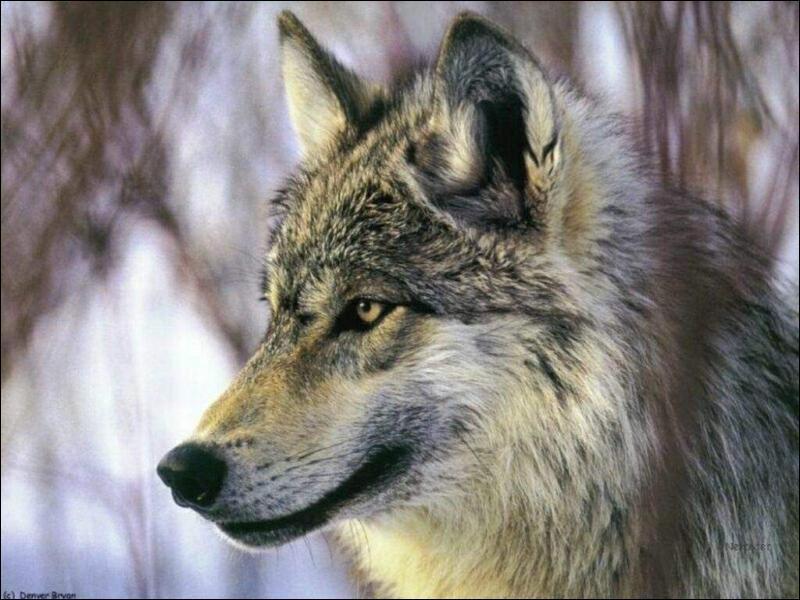 Les mustélidés ont pour ancêtre le loup