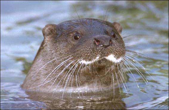 La loutre, animal vivant dans les zones humides ne se nourrit que de poissons