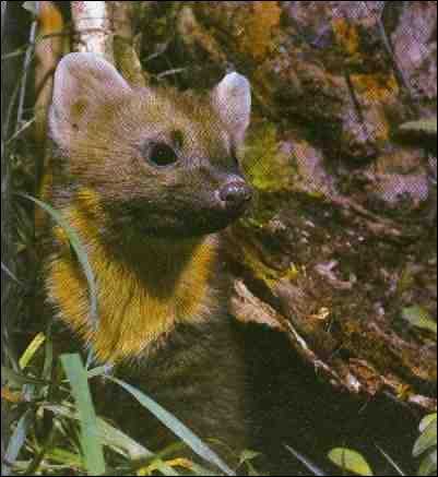 La martre est le seul mustélidé vivant exclusivement en forêt