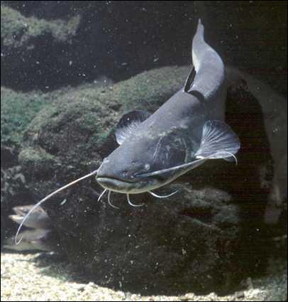 Gros poisson des lacs et rivières d'Europe, pouvant mesurer jusqu'à 2, 50m, c'est :