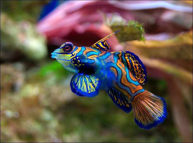 Petit poisson de récifs, qui se nourrit exclusivement de plancton :