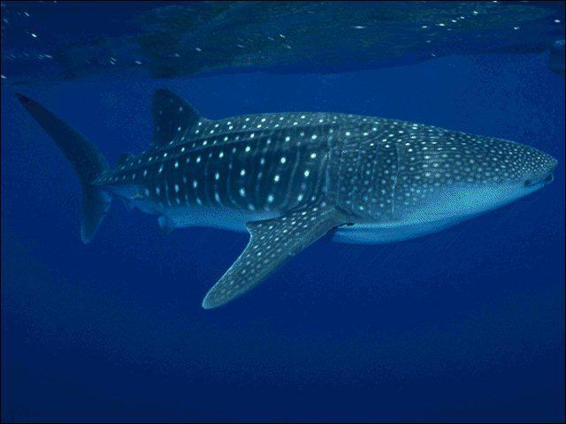 Il s'agit du plus grand poisson au monde. Pouvant mesurer plus de 15 mètres de long, ce géant des mers ne se nourrit pourtant que de plancton :