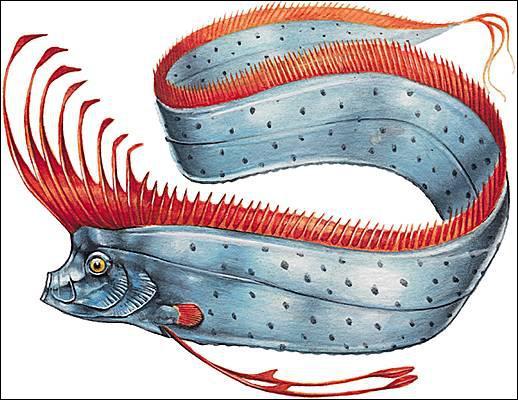 Poisson difficile à observer, qui fréquente toutes les mers tropicales et tempérées du globe, ce long animal (jusqu'à 8 mètres) est à l'origine de nombreuses légendes sur les monstres marins...