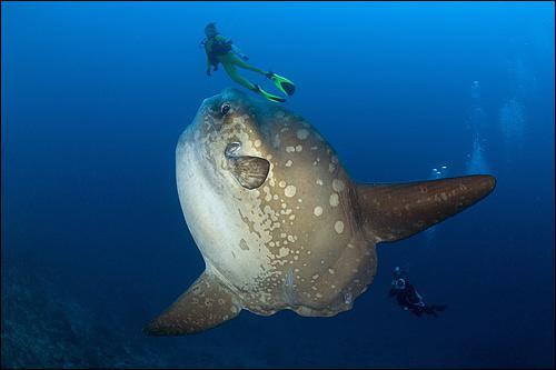 Ce poisson peut peser plus d'une tonne, et est aussi connu sous le nom de poisson-lune. C'est :