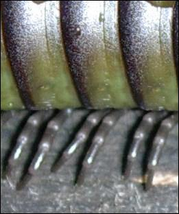 Quel est le nom plus commun des myriapodes ?