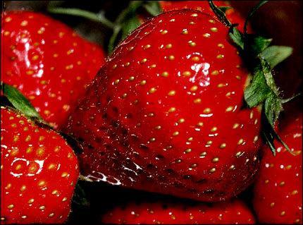Dans quelle ville du Finistère cultive-t-on une fraise succulente ?