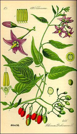Quel est l'autre nom de la plante Douce Amère ?