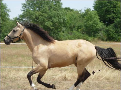 Comment s'appelle cette partie du postérieur du cheval ?