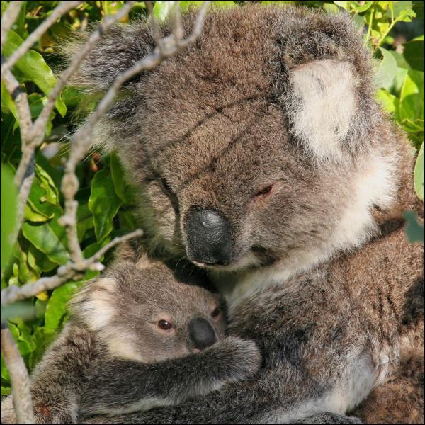 Quel est ce marsupial ?