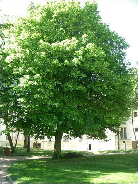 Quizz quel est cet arbre 1 quiz arbres photos for Arbre persistant pousse rapide