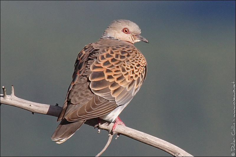 Quel est cet oiseau de la famille des Colombidés ?