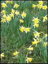 Dans 'Des jonquilles aux derniers lilas' Hugues Aufray disait : J'ai connu - - aux premières jonquilles, elle était si jolie des jonquilles aux derniers lilas'. Quel prénom est à la place des - - ?
