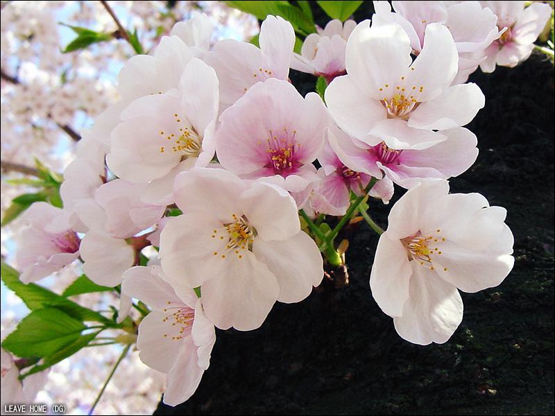 Quel pays a pour emblème la fleur de cerisier ?