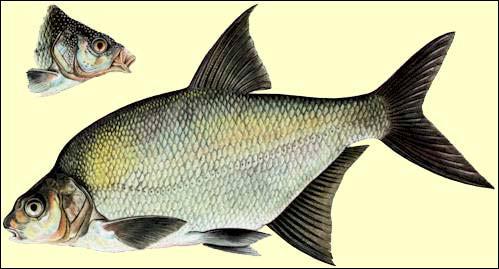 Quel est le nom de ce poisson ?