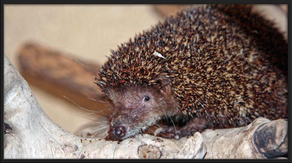 Le stetifer est-il un hibernant ?