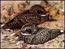 L'engoulevent de Nuttal est-il le seul oiseau capable d'hiberner ?