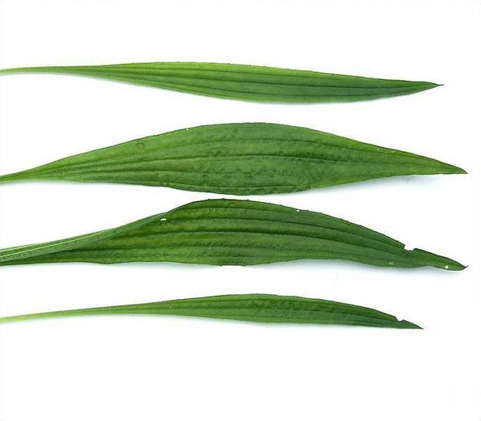 La forme et le bord du limbe des feuilles