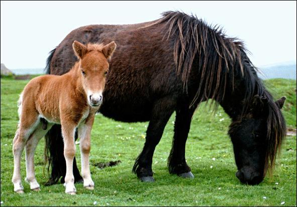 La race de poney/cheval la plus petite est