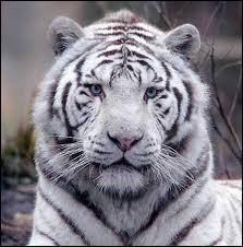 Où vit ce tigre ?