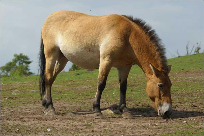 Comment se nomme le cinquième ancêtre du cheval ?