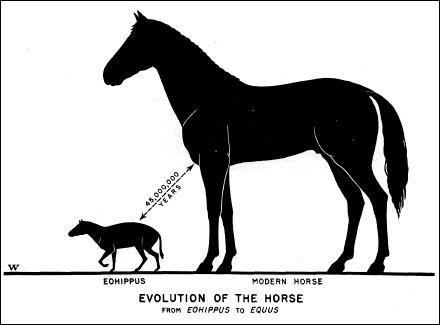 Le premier ancêtre du cheval n'était pas plus grand qu'un :