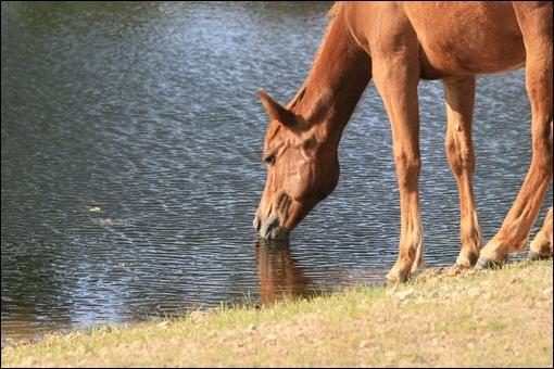 Un cheval boit environ 40 litres d'eau par jour