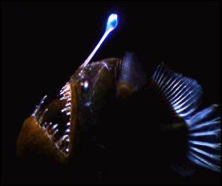 Comment s'appelle ce poisson des abysses ?