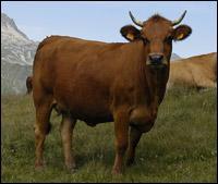 Comment s'appelle cette vache que l'on trouve en Tarentaise ?