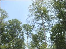 Je suis symbolique de la forêt haguenovienne, je suis :