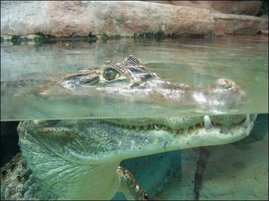 A 10 mètres de fond un grand crocodile peut rester en apnée: