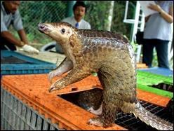 Le Pangolin, petit mammifère mangeur de fourmis, est menacé par les trafics asiatiques: