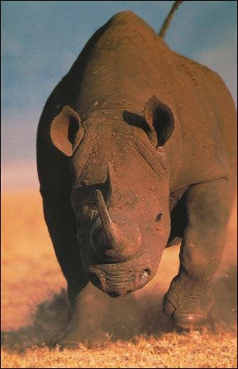 La Corne de Rhinocéros est :