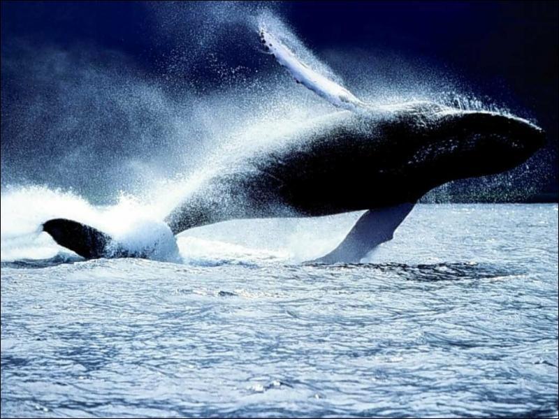 Le sifflement de la baleine bleue est le bruit le plus fort produit par n'importe quel animal :