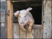 L'orgasme d'un cochon dure: