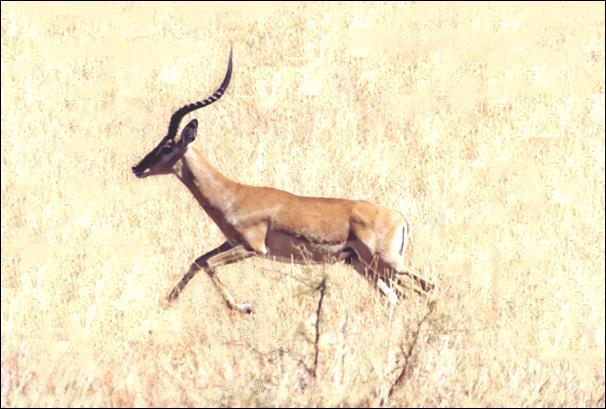 Une Antilope peut courir jusqu'à 85 Km/h sur une distance de :