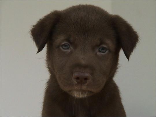 Combien de grammes de chocolat noir peut tuer un chien de race moyenne ?