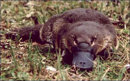 Parmi ces animaux peu connus, lequel est un animal semi-aquatique vivant dans l'Est de l'Australie ?