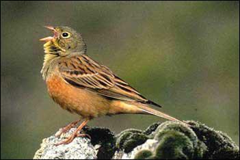 Ce petit oiseau de la famille des embérizidés est une espèce protégée en Europe dont la vente est illégale en France. Oiseau à la chair délicate, autrefois réservée aux rois, c'est :